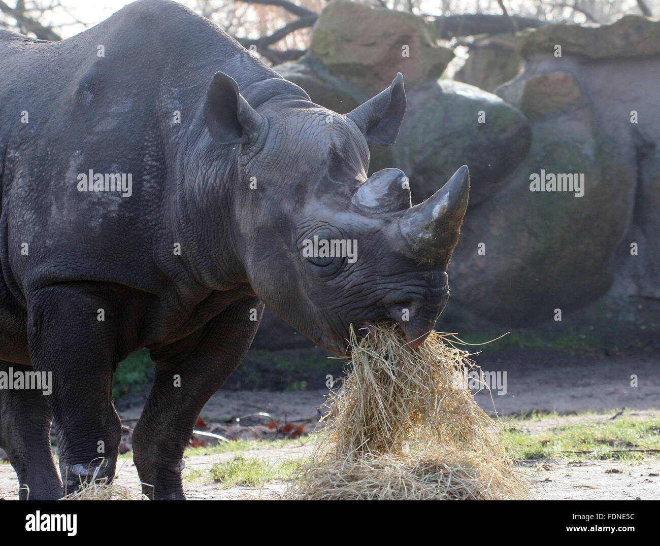 East African black or hook lipped rhino (Diceros bicornis) feeding on hay - Stock Image