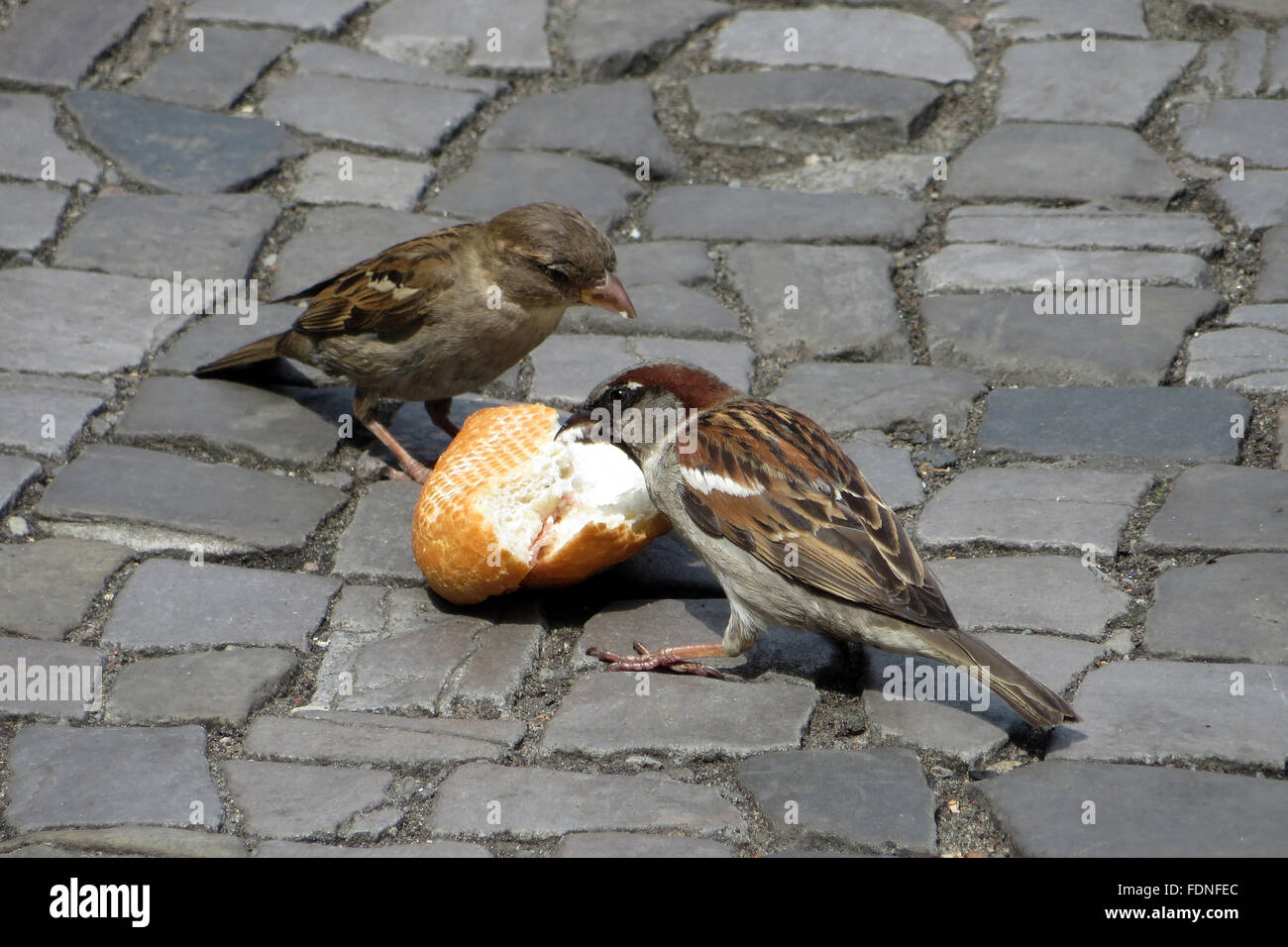 18.06.2015, Berlin, Deutschland - Hausspatzen picken an einem weggeworfenen Broetchen herum. 00S150618D802CARO.JPG Stock Photo