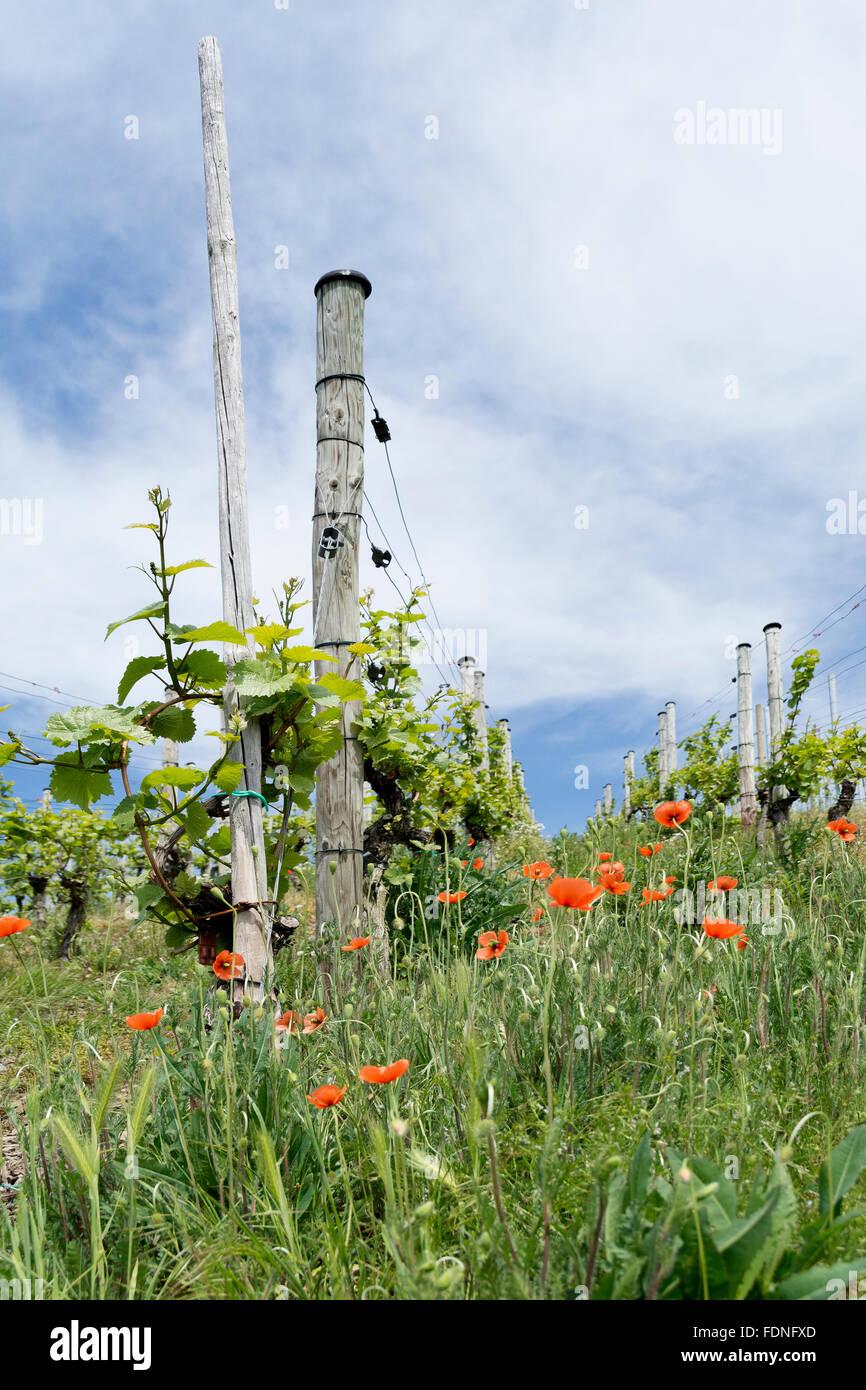 poppies,vine - Stock Image