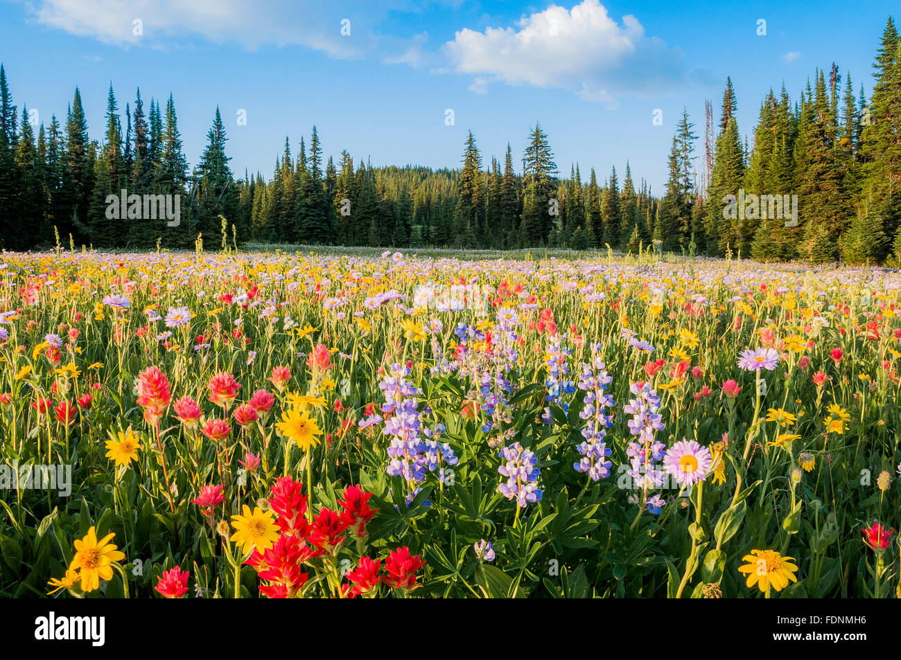 Wildflowers, Trophy Meadows, Wells Gray, Provincial Park, BC, Canada - Stock Image