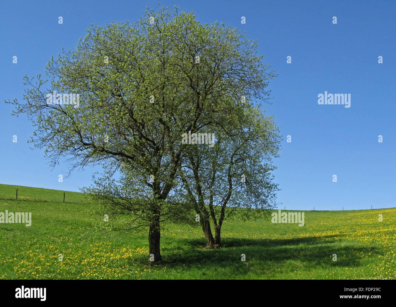 landscape,spring,tree,flower meadow - Stock Image
