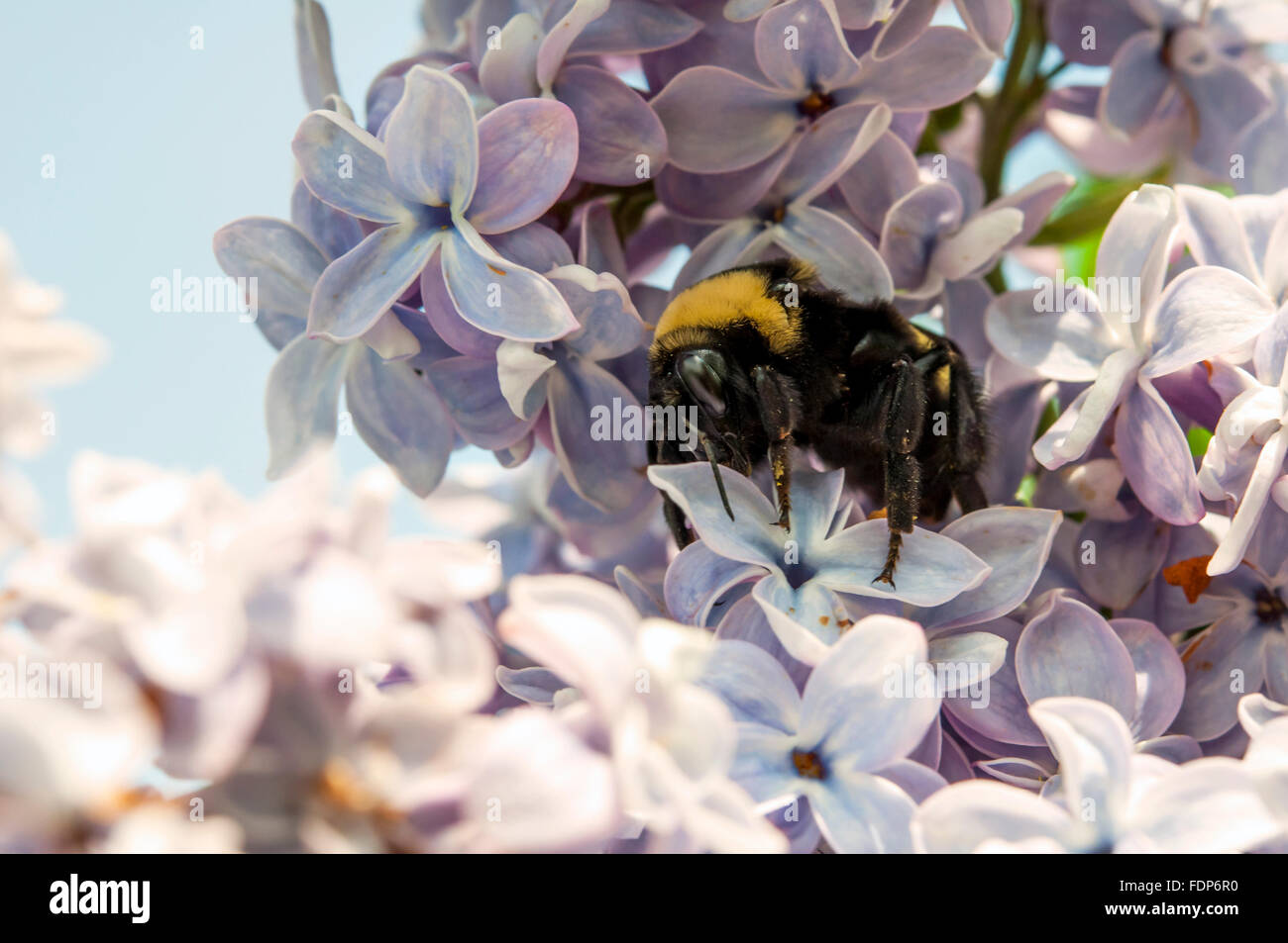 Bumble bee pollinating Lilac blooms - Stock Image