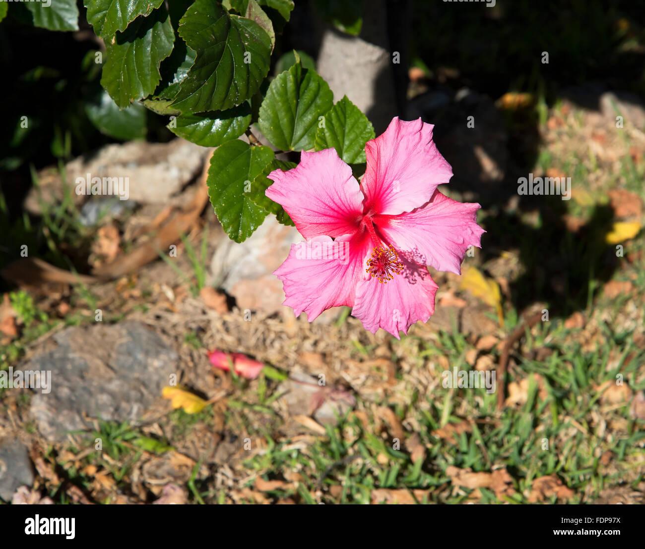 Hibiscus Flower Andalucia Stock Photos Hibiscus Flower Andalucia