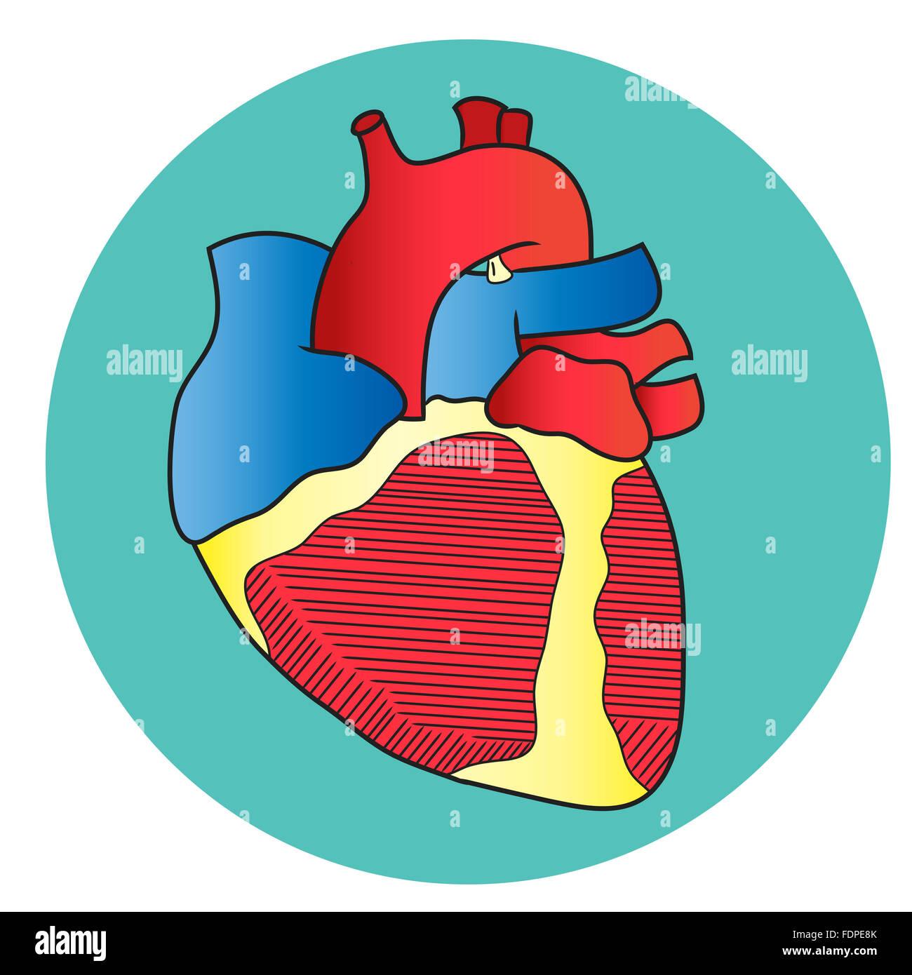 Anatomy of the Heart- Anterior View Stock Photo: 94536531 - Alamy