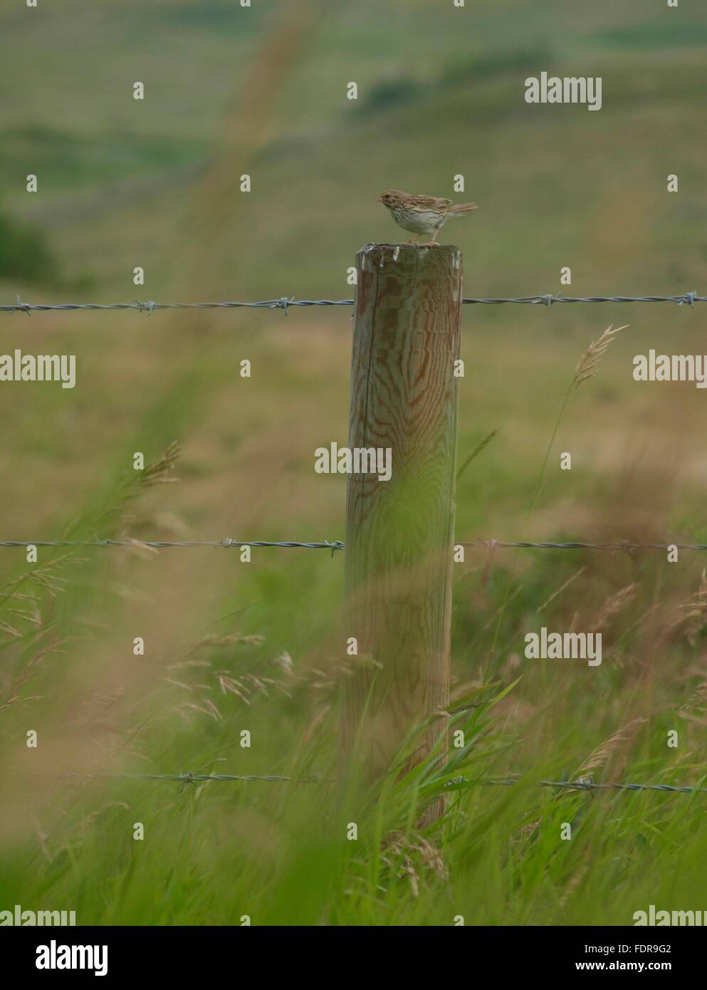 Song Bird on Fence Post - Stock Image