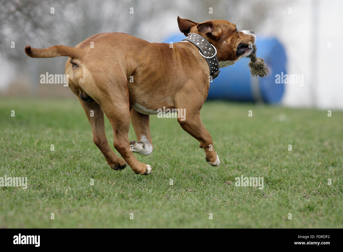 retrieving,american staffordshire - Stock Image