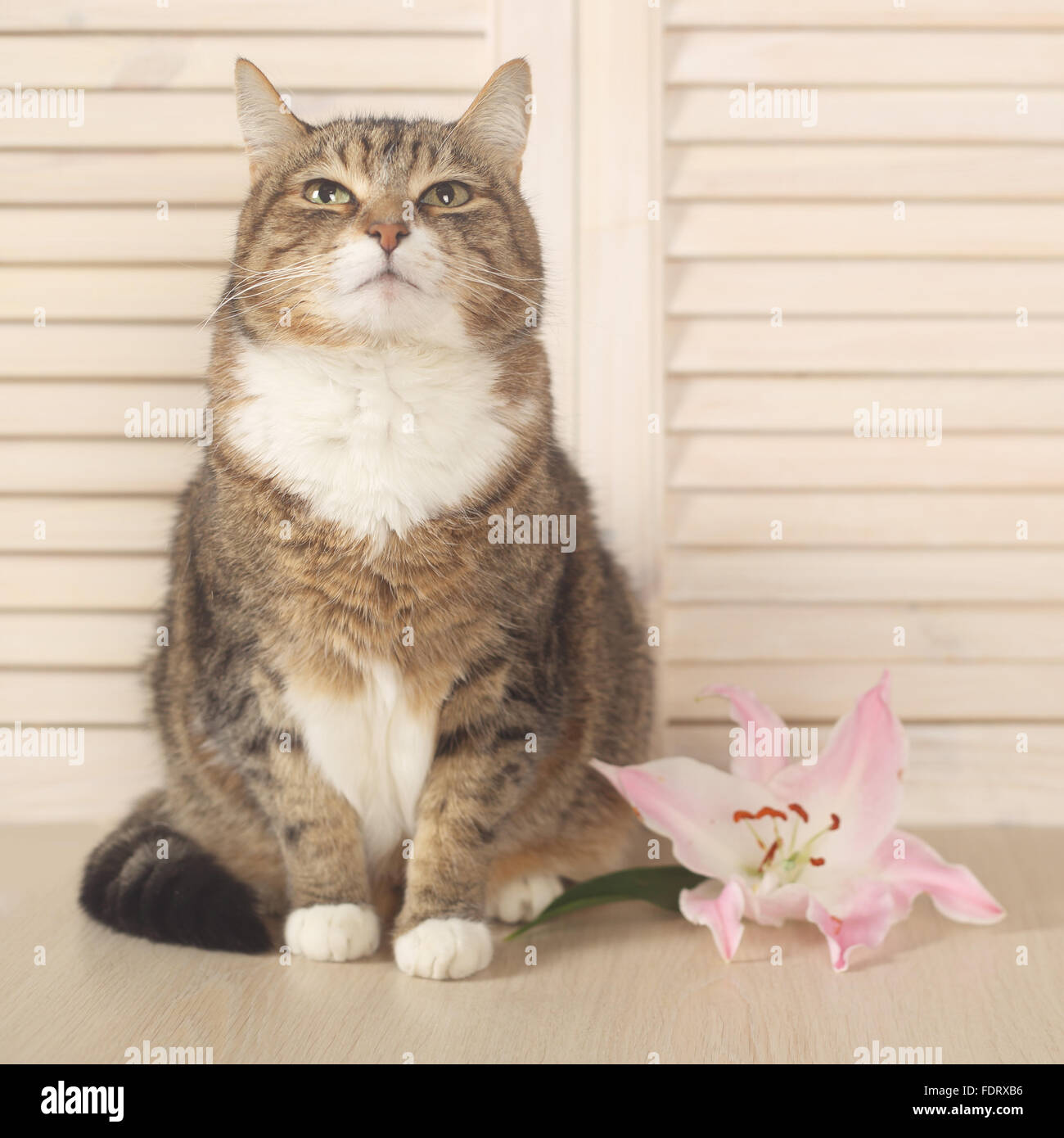 Cat With Lily Flower Sitting On Wooden Background Stock Photo