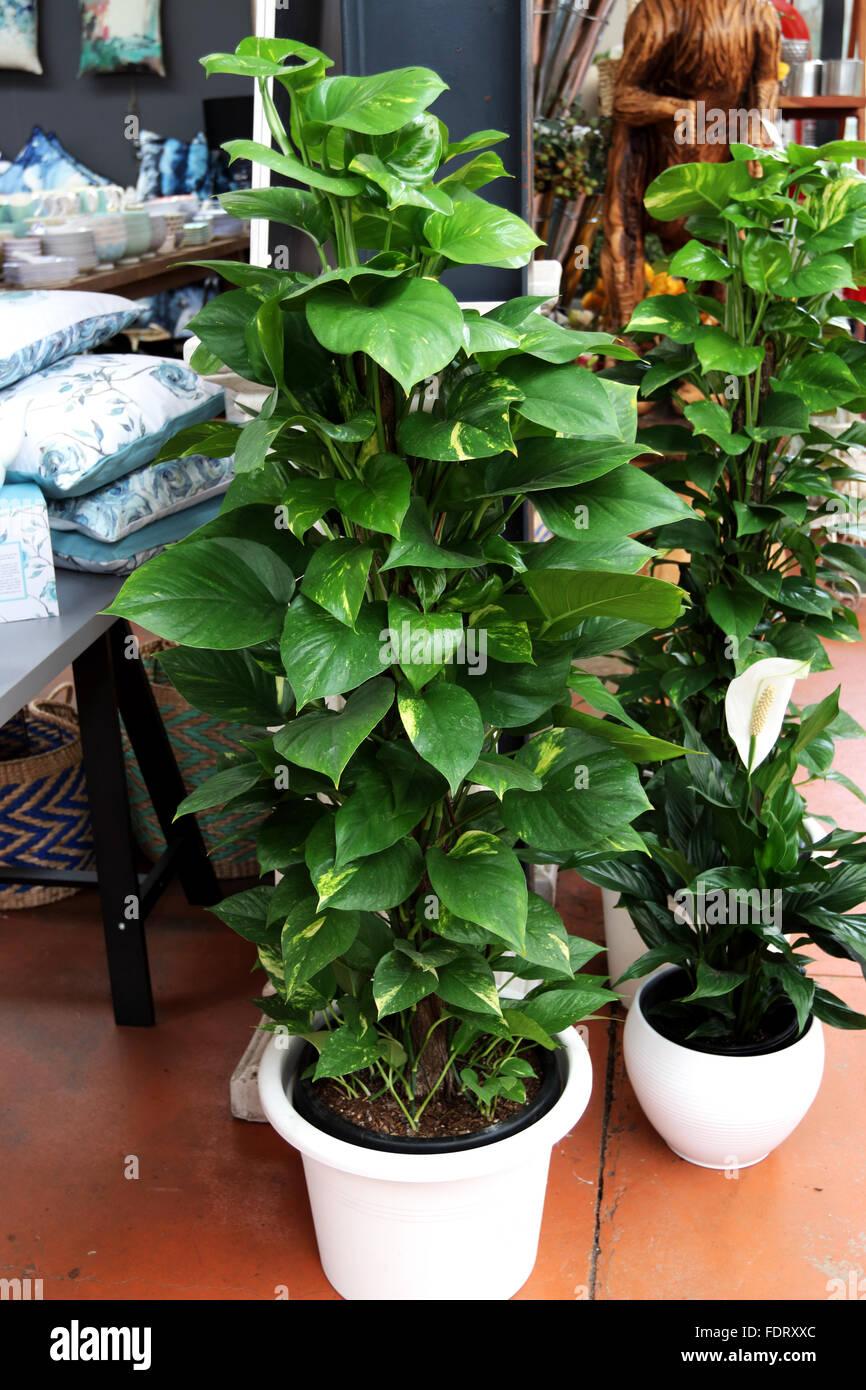 Epipremnum Aureum Or Known As Devil S Ivy Growing In A Pot