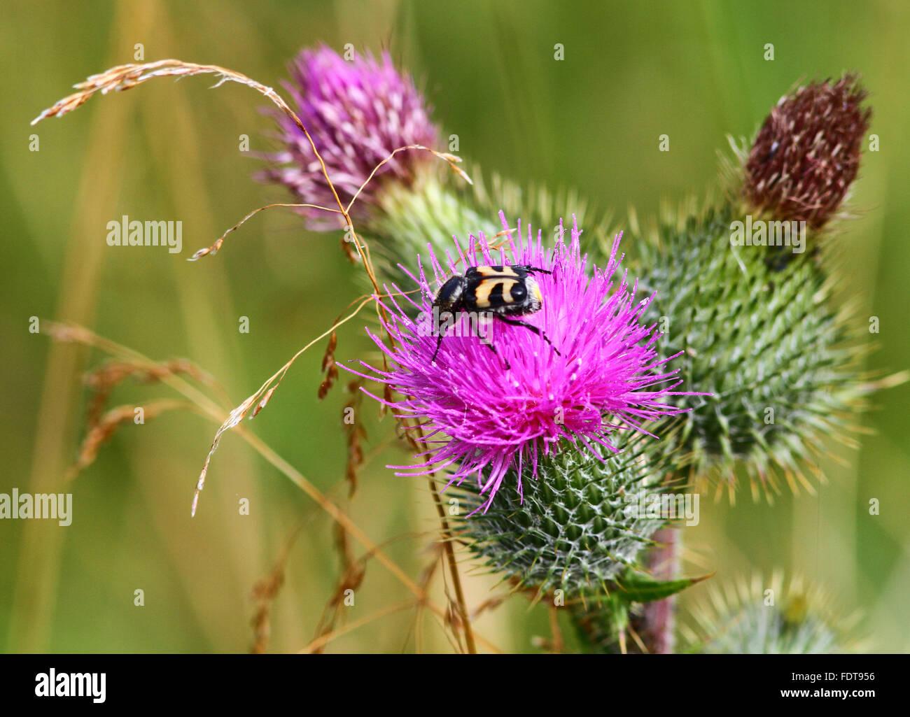 Bee Beetle on Thistle - Stock Image