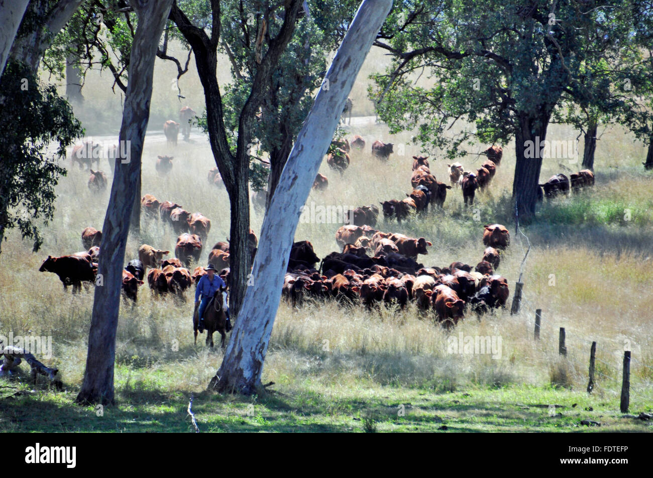 CATTLE MUSTER IN OUTBACK AUSTRALIA - Stock Image