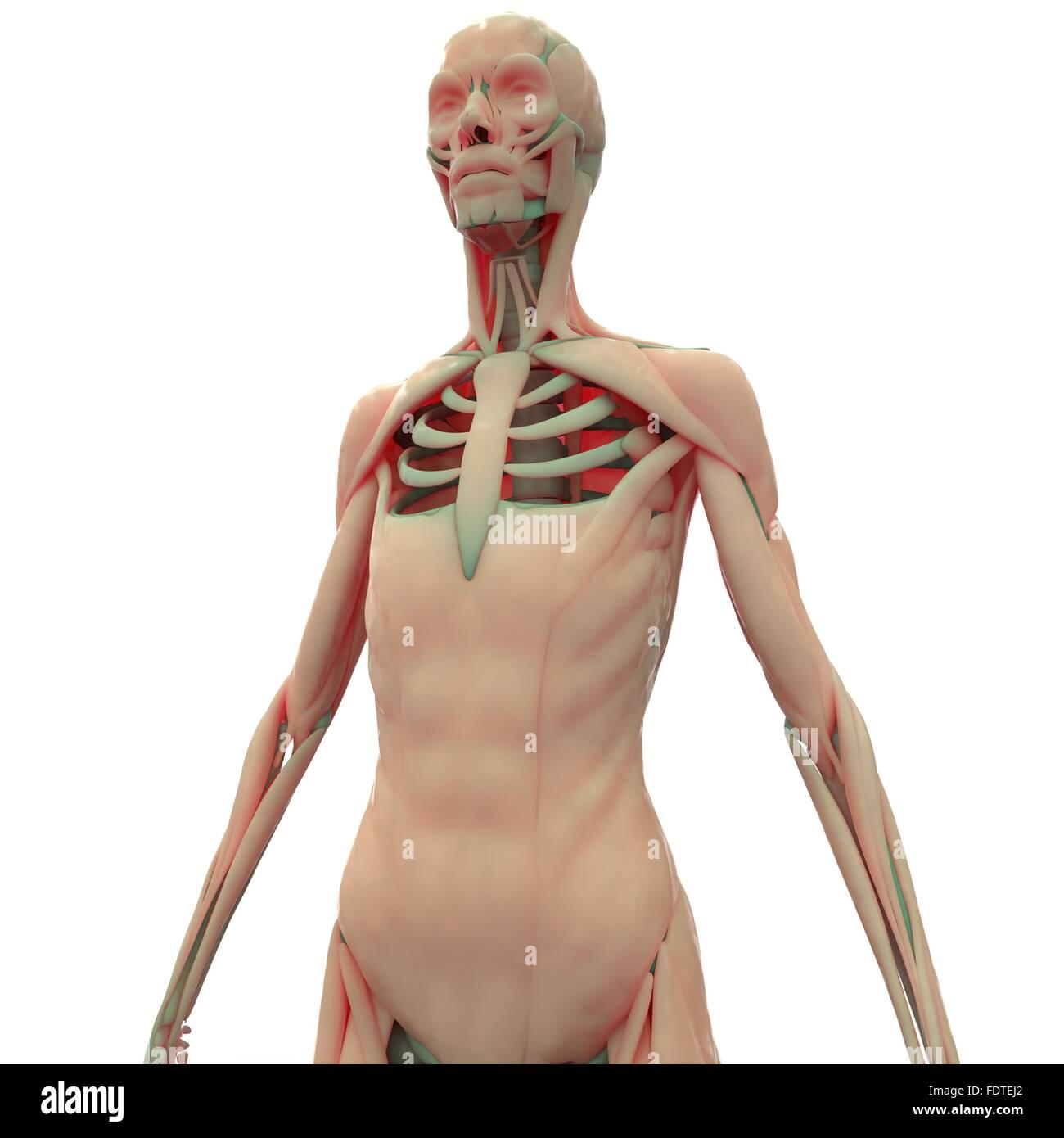 Human Body Muscles Anatomy Stock Photo 94580698 Alamy