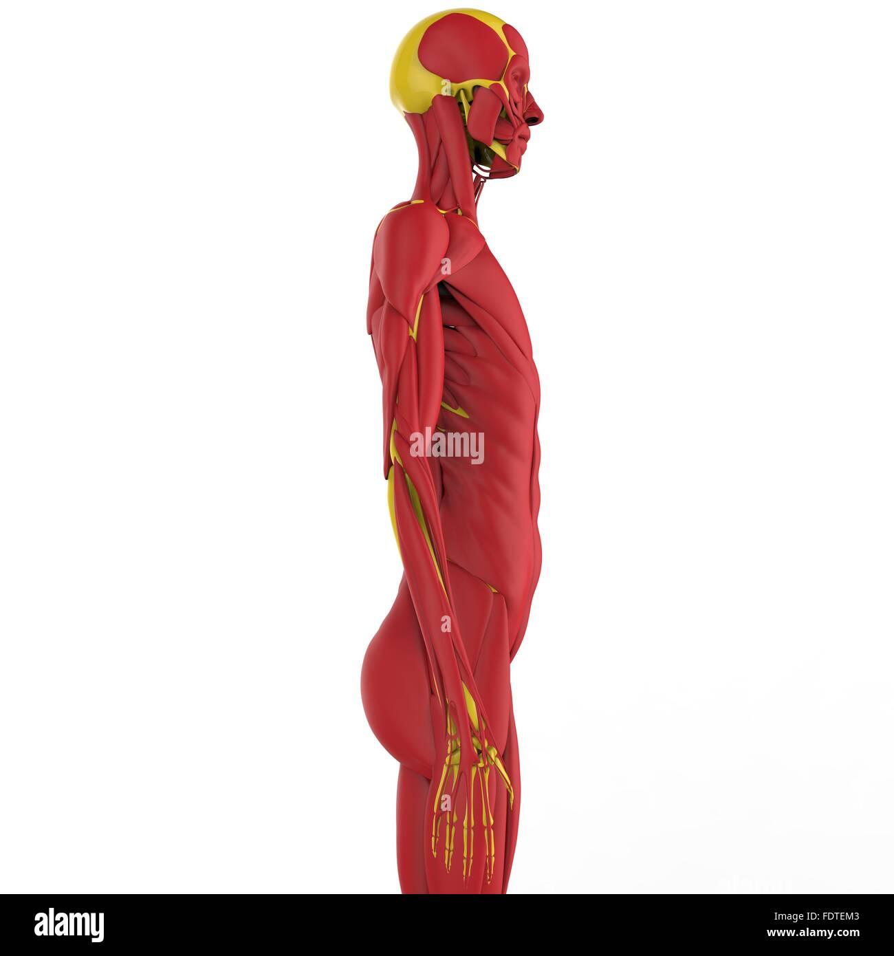 Human Body Muscles Anatomy Stock Photo 94580755 Alamy