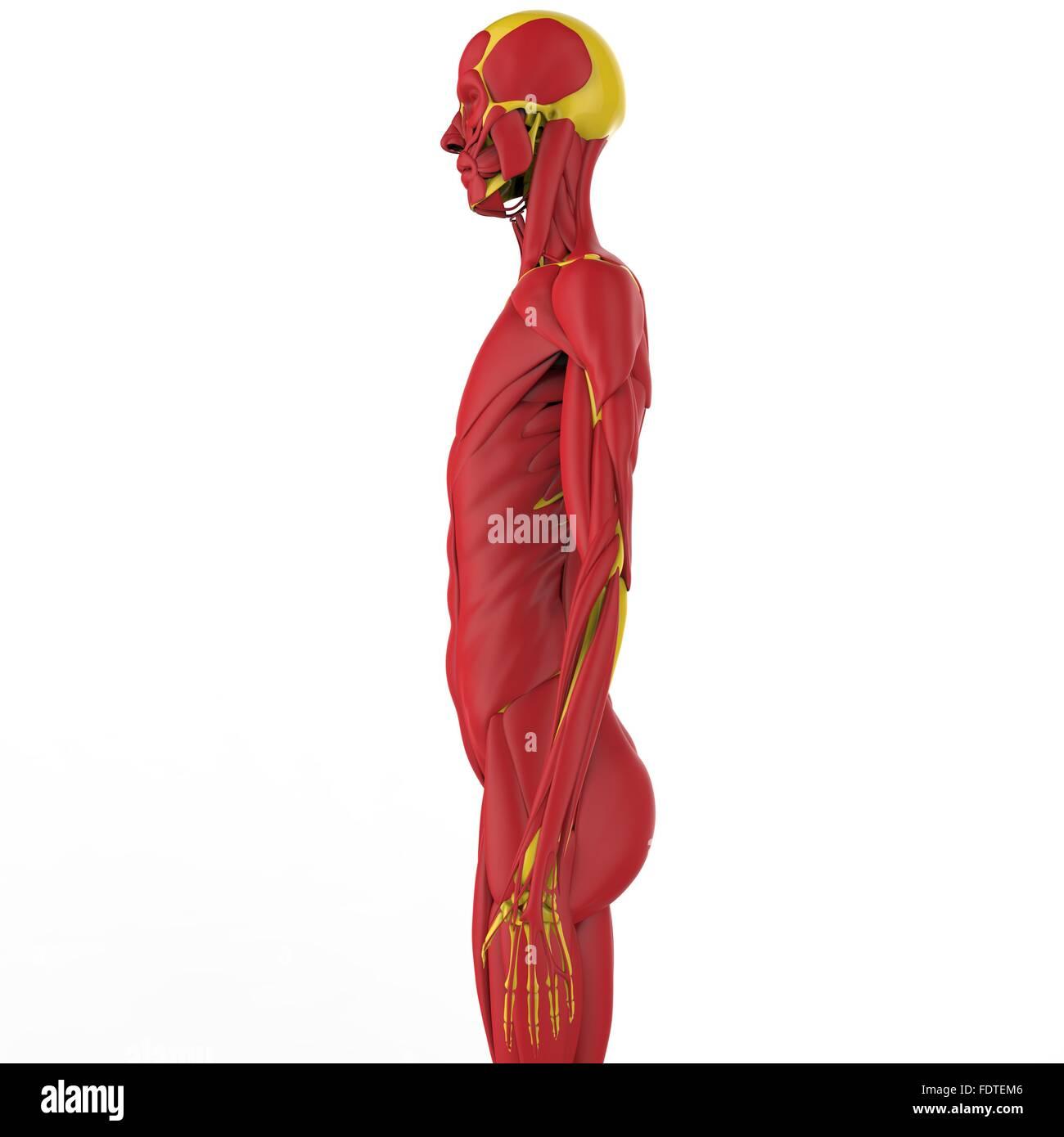 Human Body Muscles Anatomy Stock Photo 94580758 Alamy