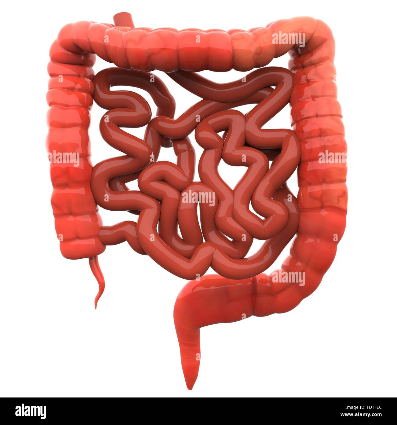 Small Intestine 3d Cut Out Stock Images & Pictures - Alamy