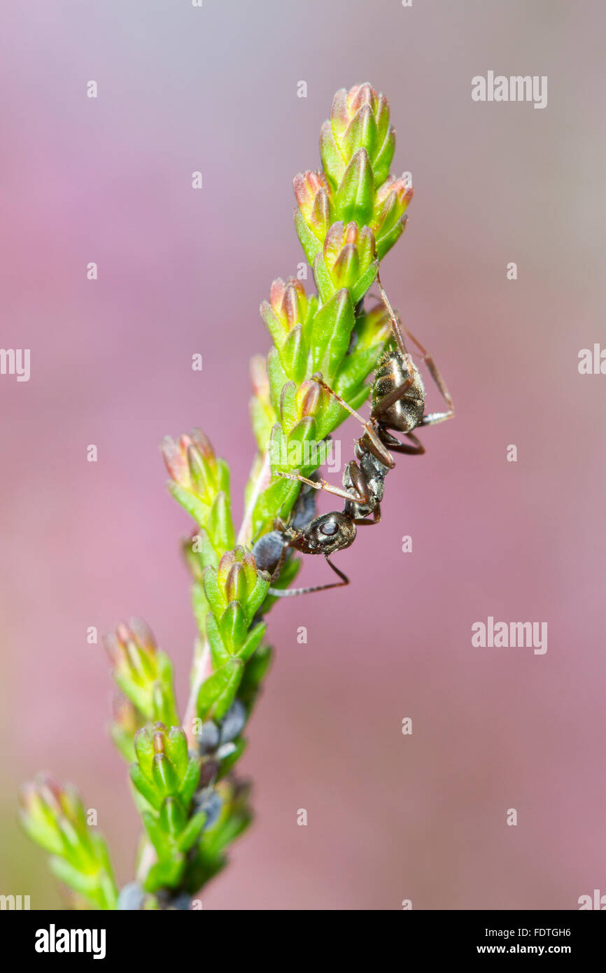 Negro Ant (Formica fusca) adult worker tending aphids on Common Heather or Ling (Calluna vulgaris). Powys, Wales. - Stock Image