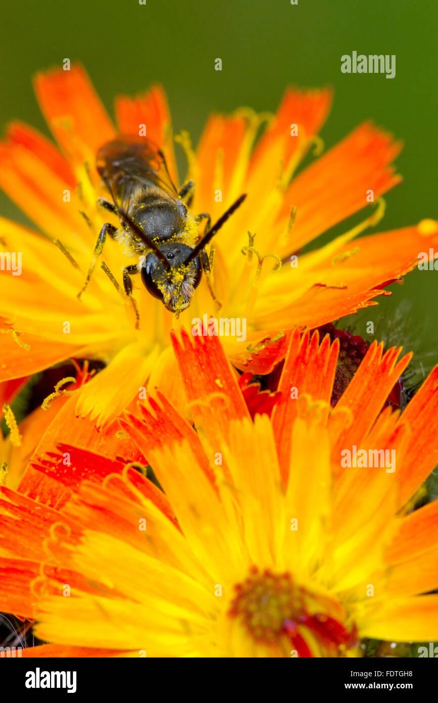 Common Furrow-bee (Lasioglossum calceatum) adult male feeding on Orange Hawkweed (Pilosella aurantiaca) flowers. - Stock Image