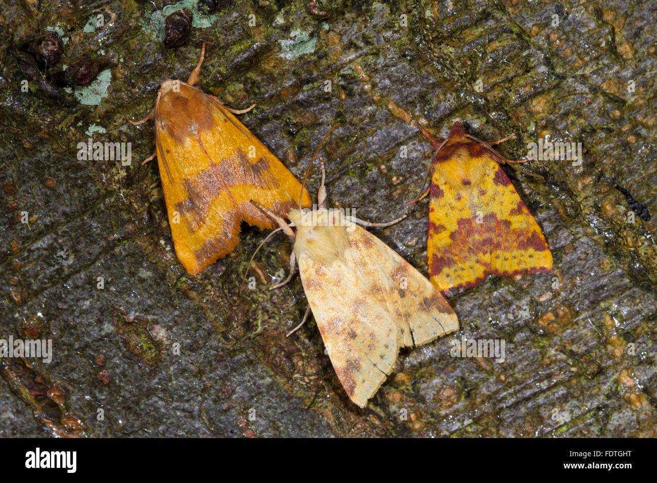 Autumn moths: Centre-barred Sallow, The Sallow, and Pink-barred Sallow moths. - Stock Image