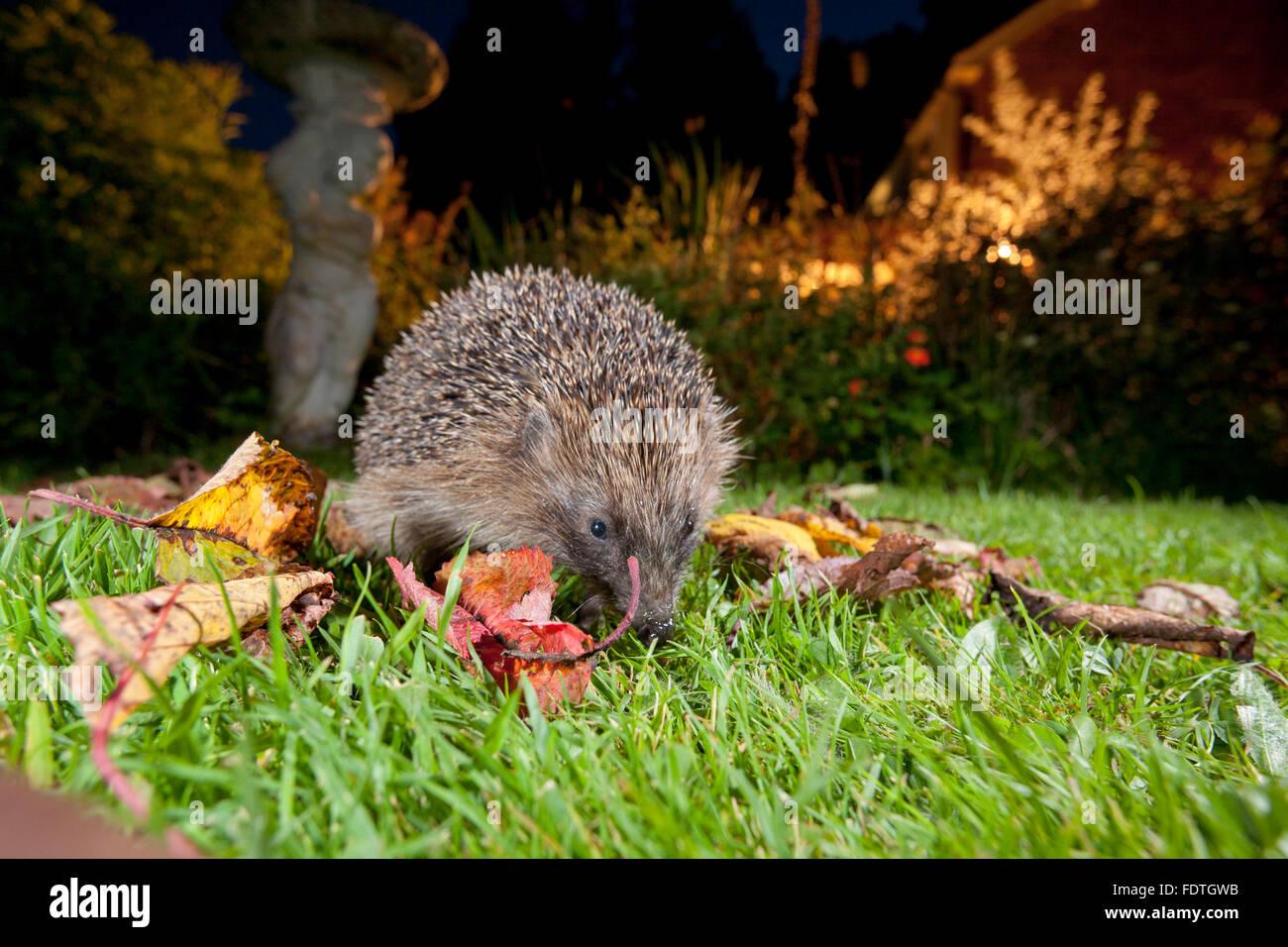 European Hedgehog (Erinaceus europaeus) wild adult, feeding on a garden lawn at night. Powys, Wales. September. - Stock Image