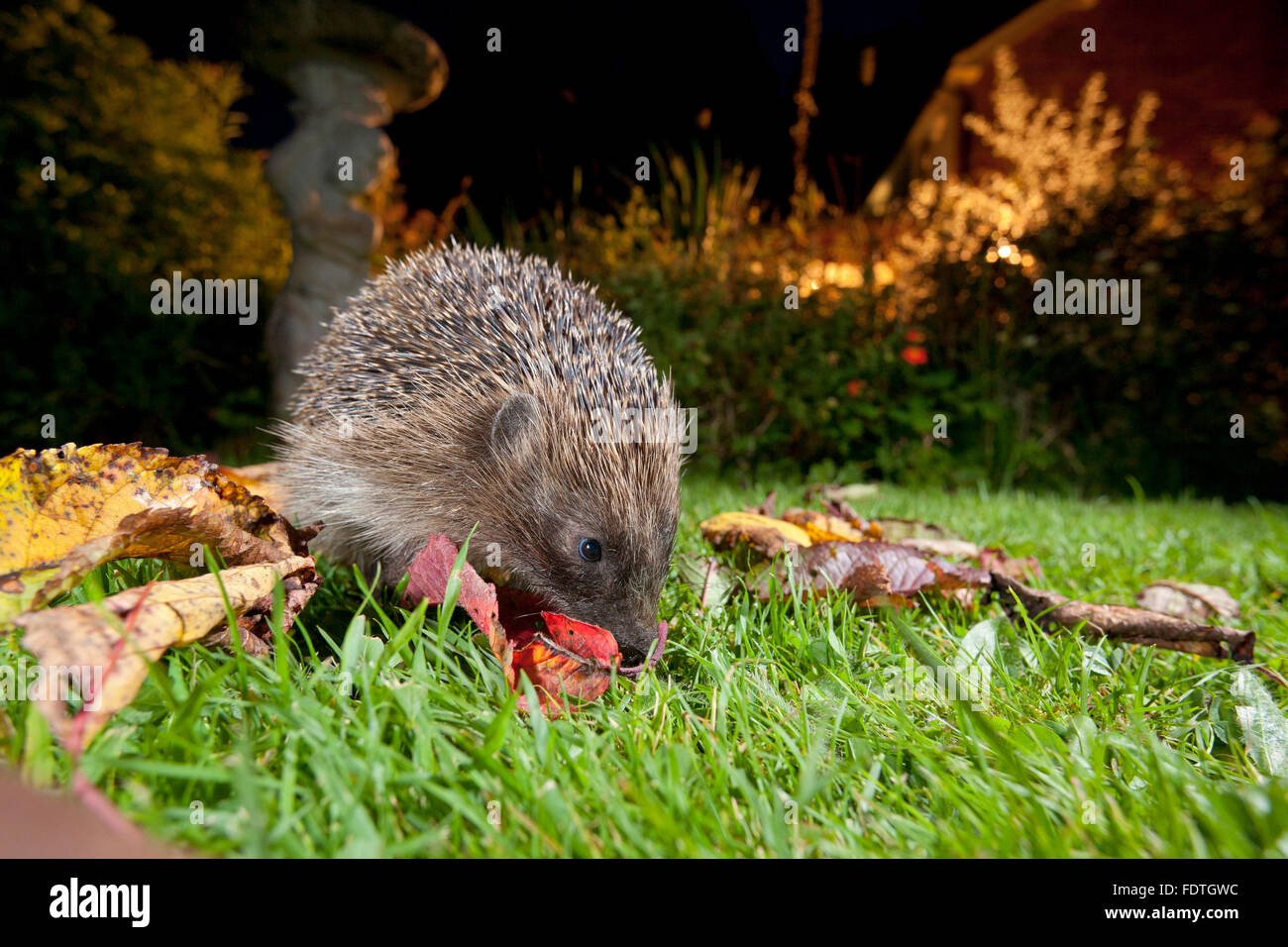 European Hedgehog (Erinaceus europaeus) wild adult, feeding on a garden lawn at night. Powys, Wales. September. - Stock Image