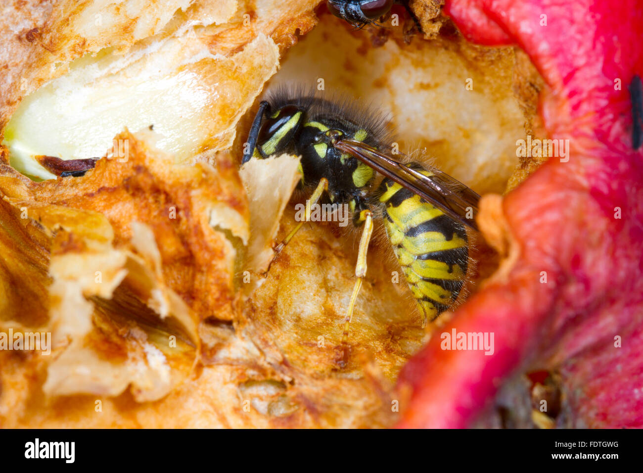 Common wasp (Vespula vulgaris) adult worker, feeding on a damaged apple (Malus domestica) in an Organic orchard. - Stock Image