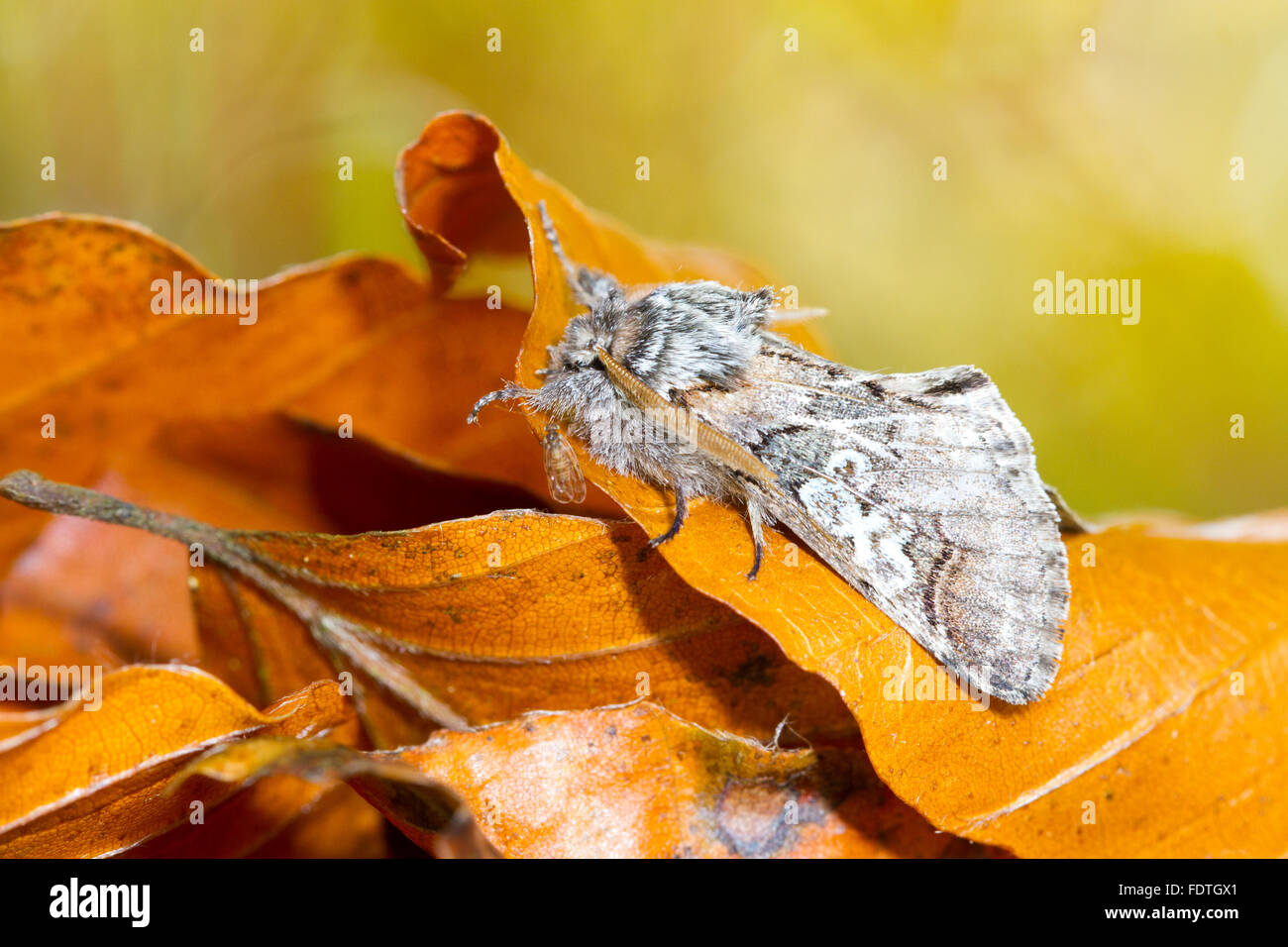 Figure of Eight (Diloba caeruleocephala) adult moth resting amongst fallen leaves in Autumn. Powys, Wales. October. - Stock Image