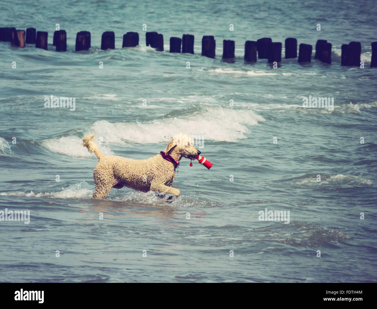 Poodle fetching object in ocean, retro toned with dark vignette - Stock Image