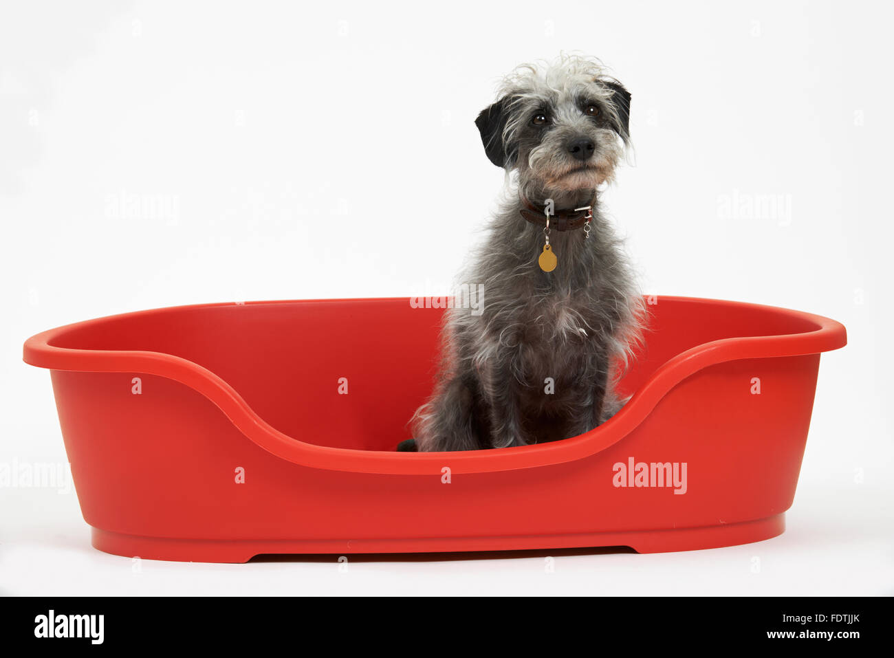Studio Shot Of Pet Lurcher Sitting In Red Dog Bed - Stock Image