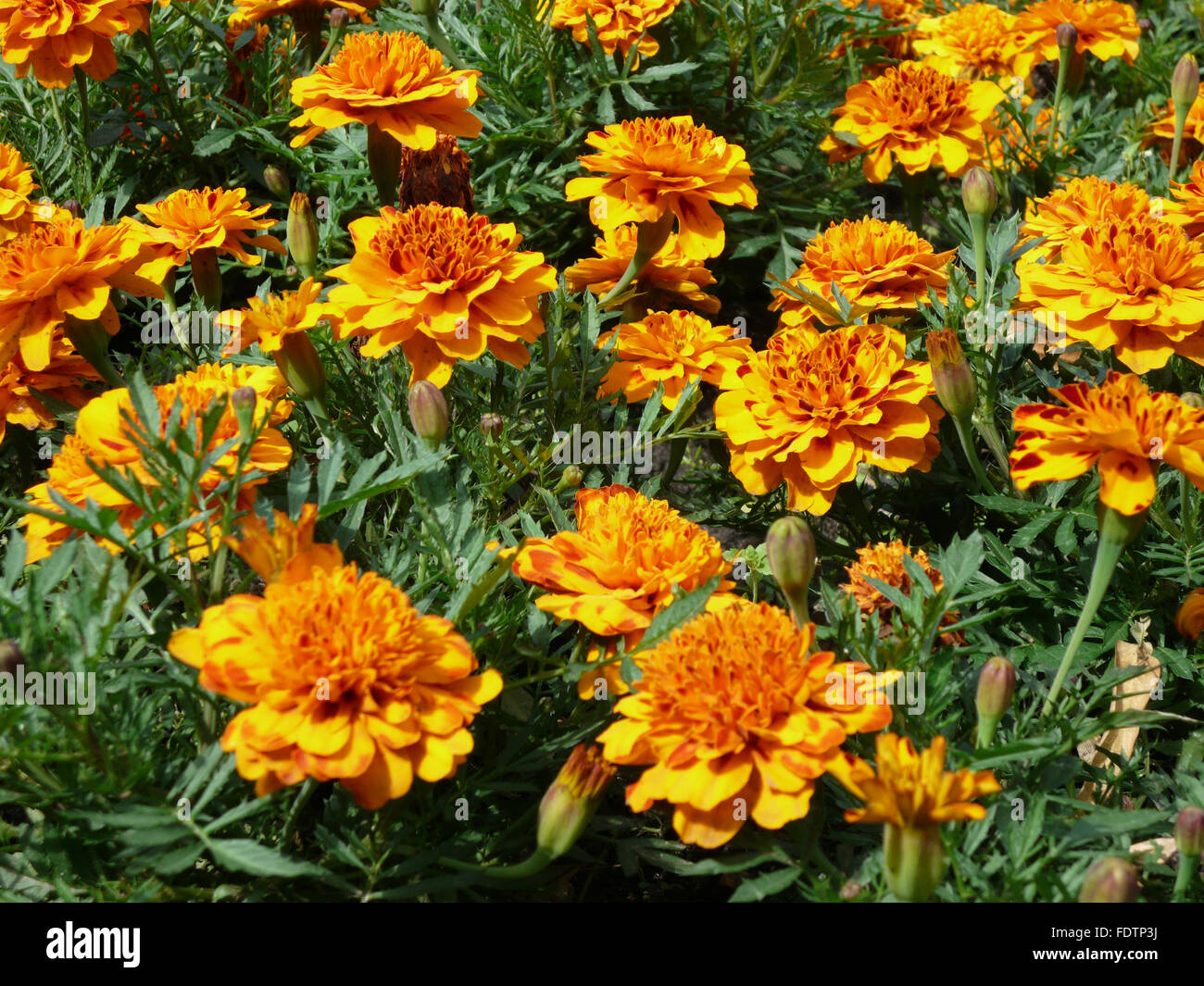 yellow flowers on flowerbed - Stock Image
