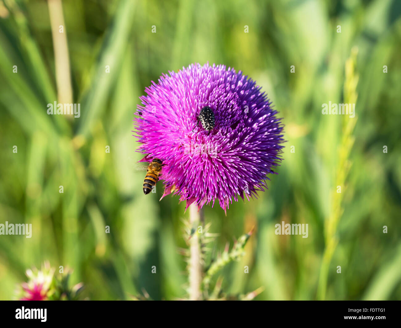 Beautiful bright flower thistle. Bees pollinate the flowers, collect nectar and pollen from flowers. Selective focus, - Stock Image