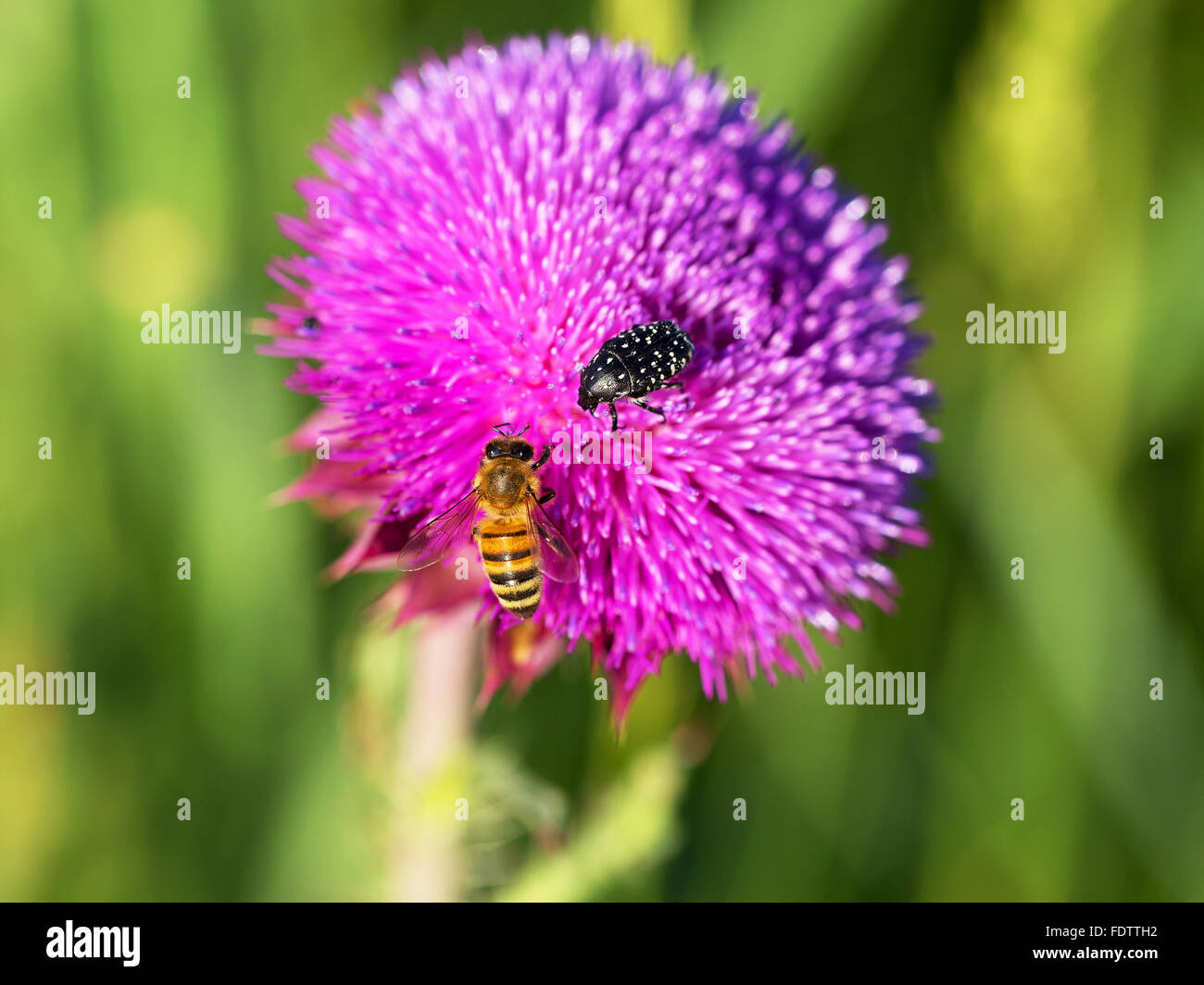 Beautiful Bright Flower Thistle Bees Pollinate The Flowers Collect