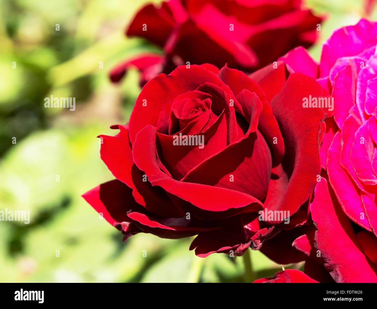 Beautiful red rose on green stock photos beautiful red rose on beautiful blooming red rose on a green background blur soft selective focus closeup image izmirmasajfo