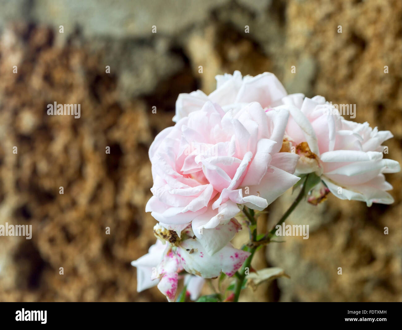Delicate pink rose, bokeh as background for the formulation of promotional tracks. Soft selective focus. - Stock Image