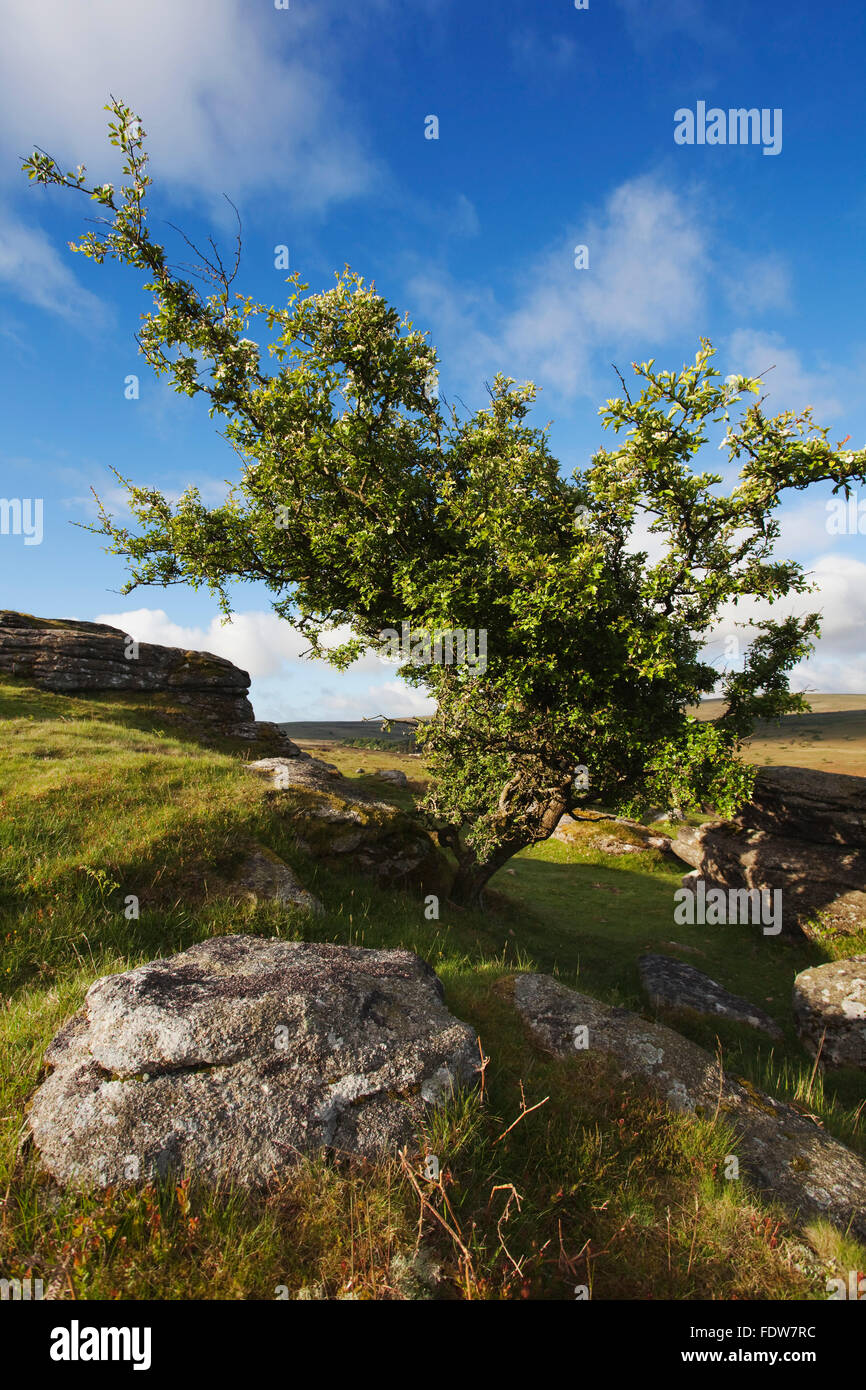Hawthorn tree on Bench Tor, nr Holne, Dartmoor National Park, Devon, Great Britain. - Stock Image
