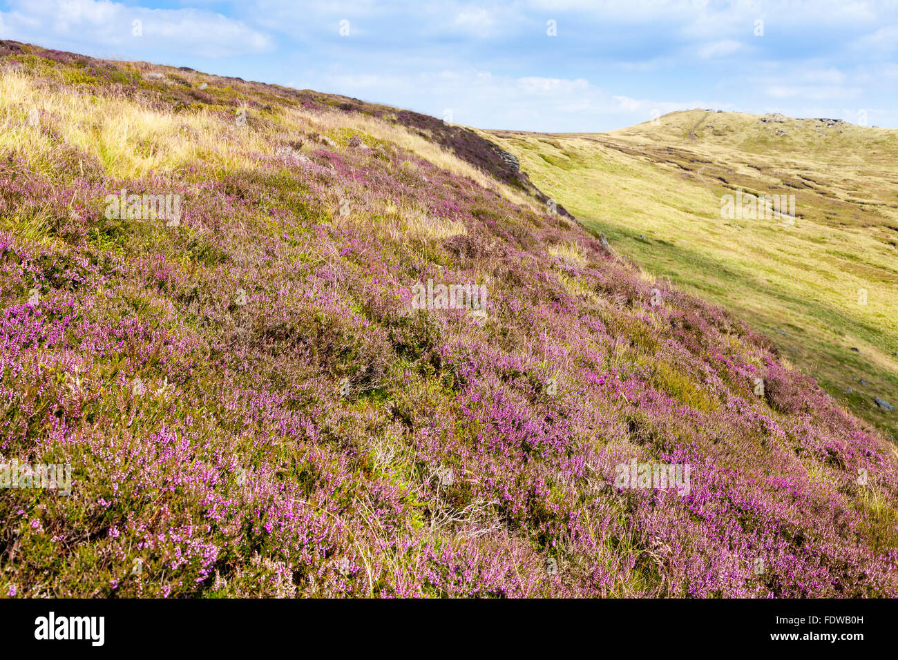 Heather (Calluna vulgaris) on the southern edge of Kinder Scout, Derbyshire, Peak District National Park, England, - Stock Image