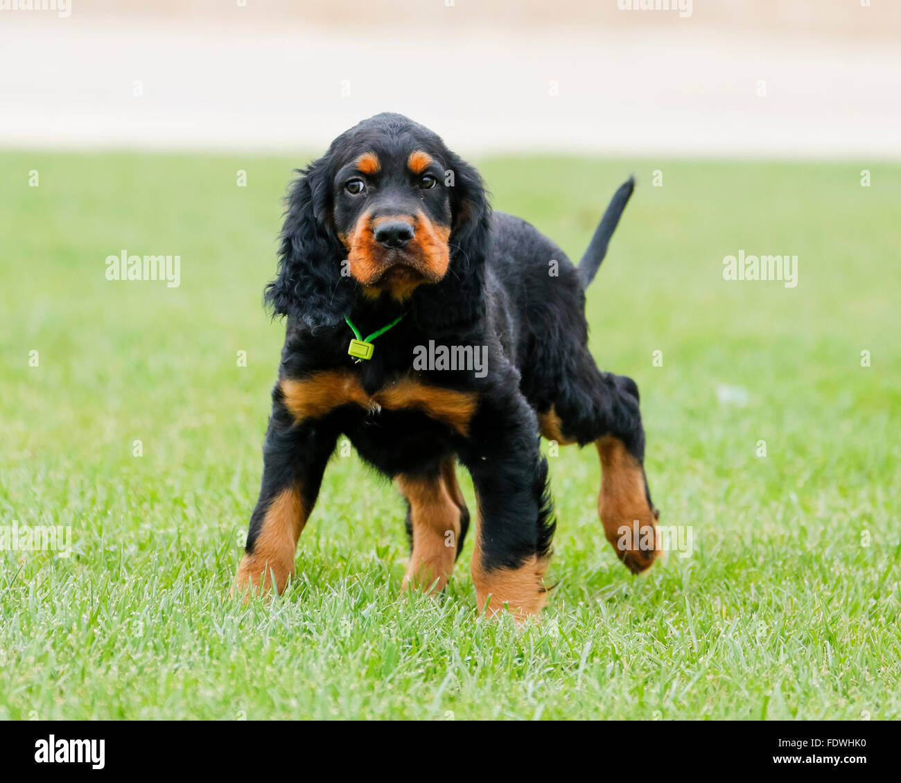 Gordon Setter puppy looking unsure at the park - Stock Image