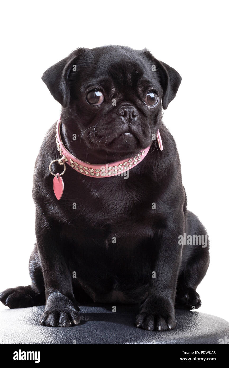 Black Pug Puppy Dog In Diamond Studded Pink Dog Collar With Heart