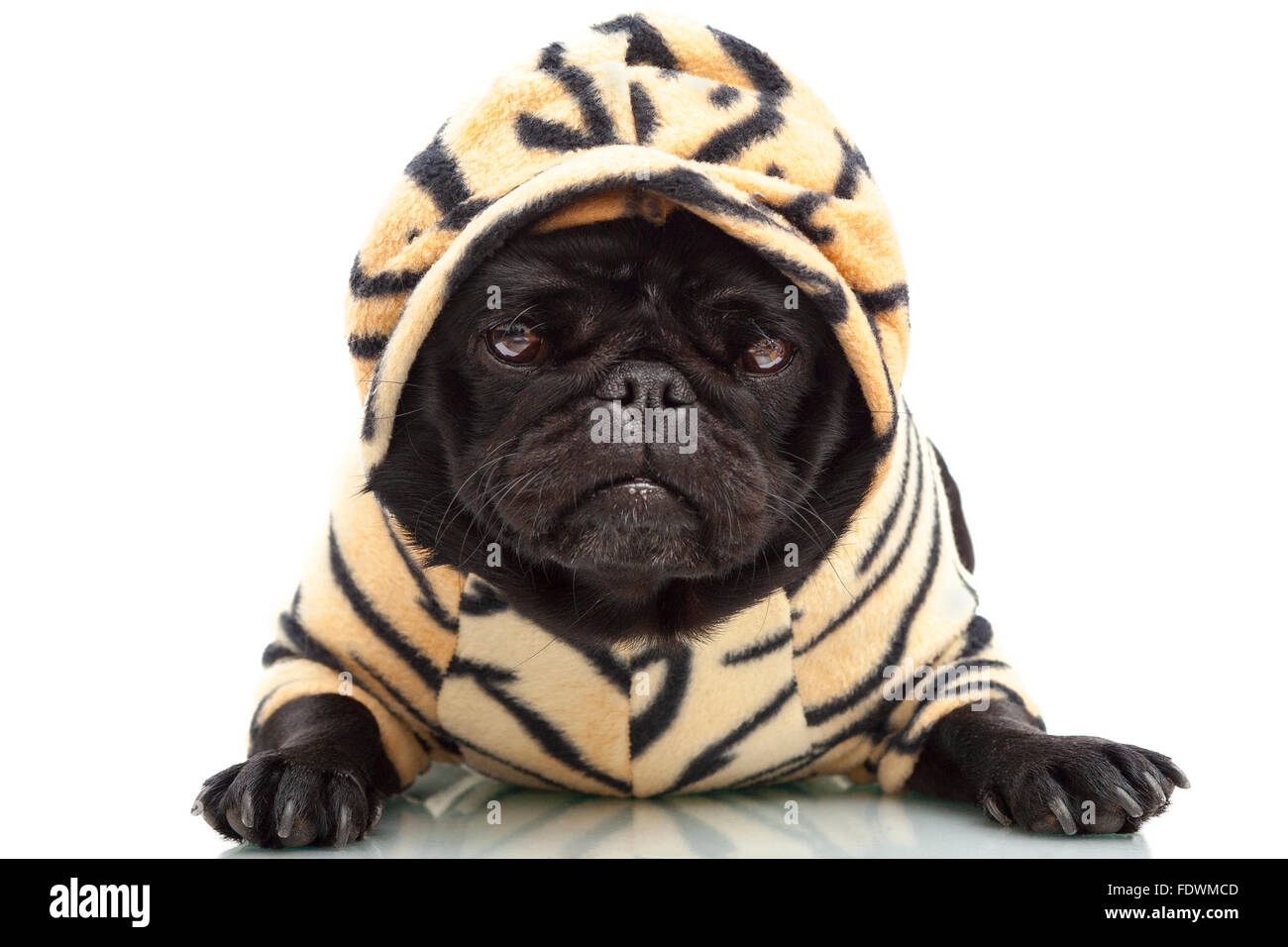 Portrait of black pug puppy dog in tiger print pet clothing outfit isolated on white background  sc 1 st  Alamy & Portrait of black pug puppy dog in tiger print pet clothing outfit ...