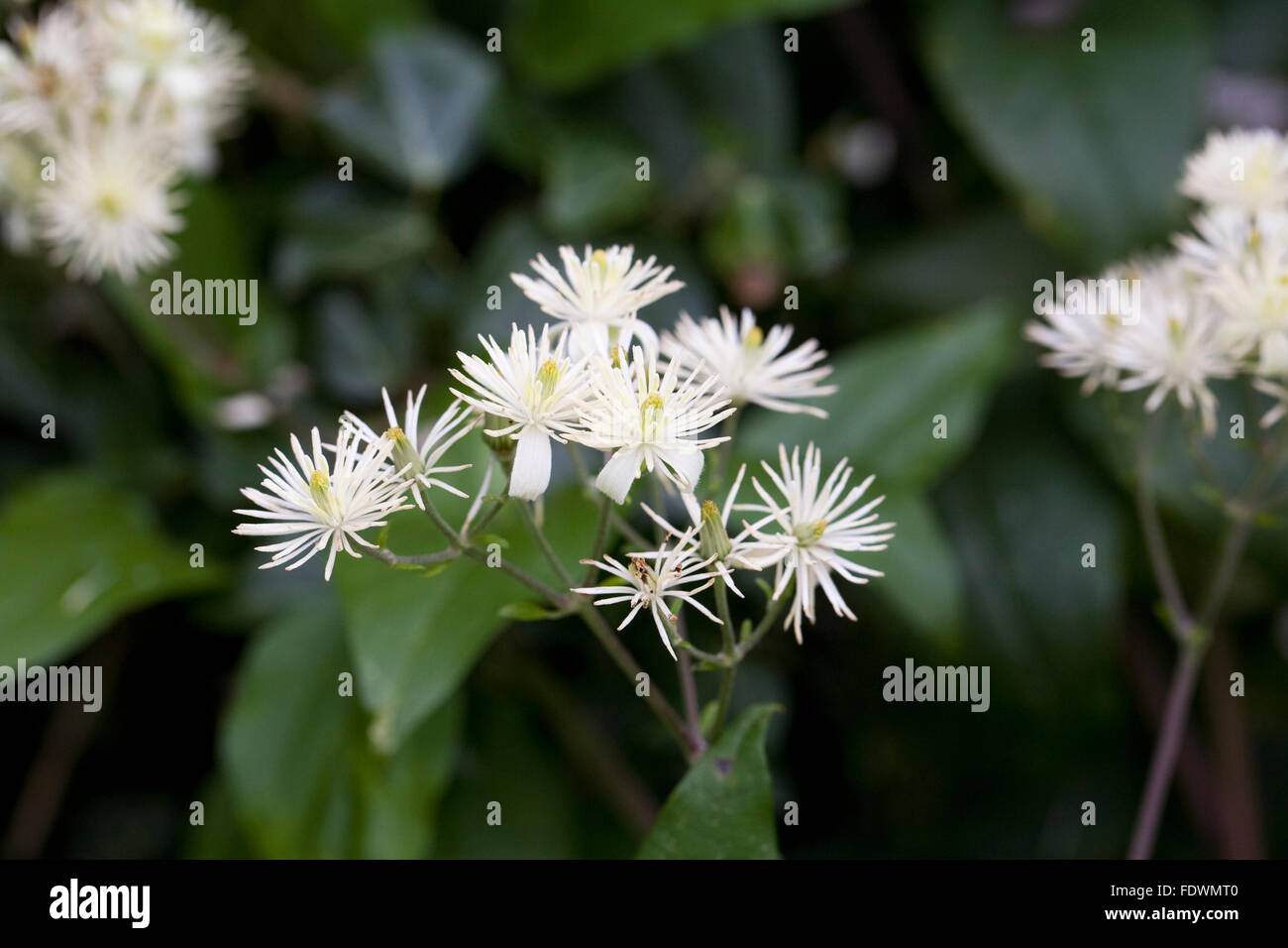 Clematis vitalba. Wild clematis growing in the hedgerow. - Stock Image