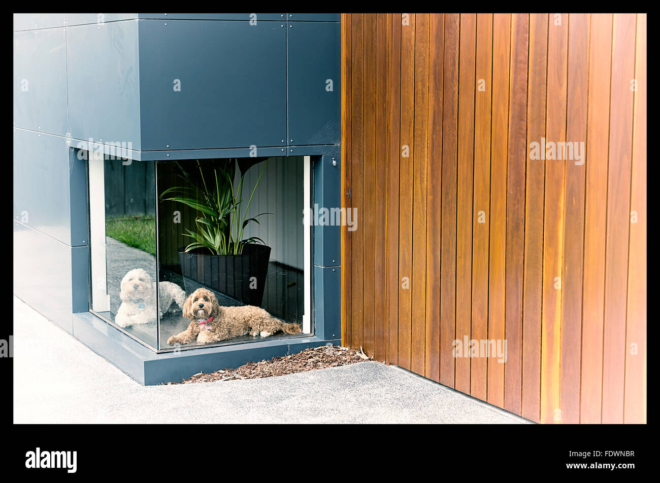 A vintage colour photograph of a white dog and a brown dog waiting infront of a low window at a house with timber - Stock Image