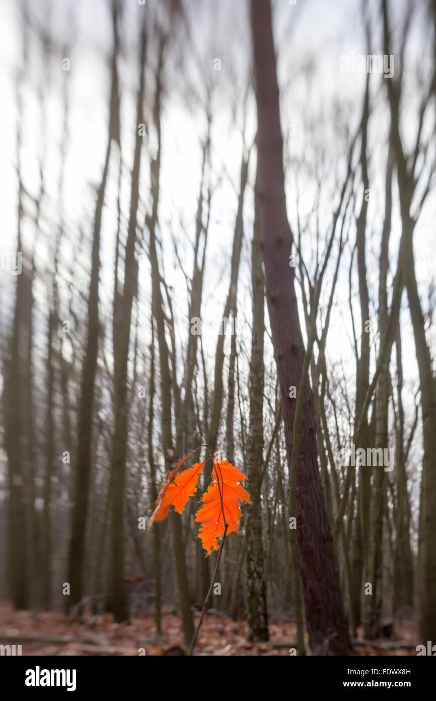 14.11.2015, Berlin, Deutschland - Eichenblatt in Herbstfarbe. 0GB151114D101CARO.JPG [MODEL RELEASE: NOT APPLICABLE, Stock Photo