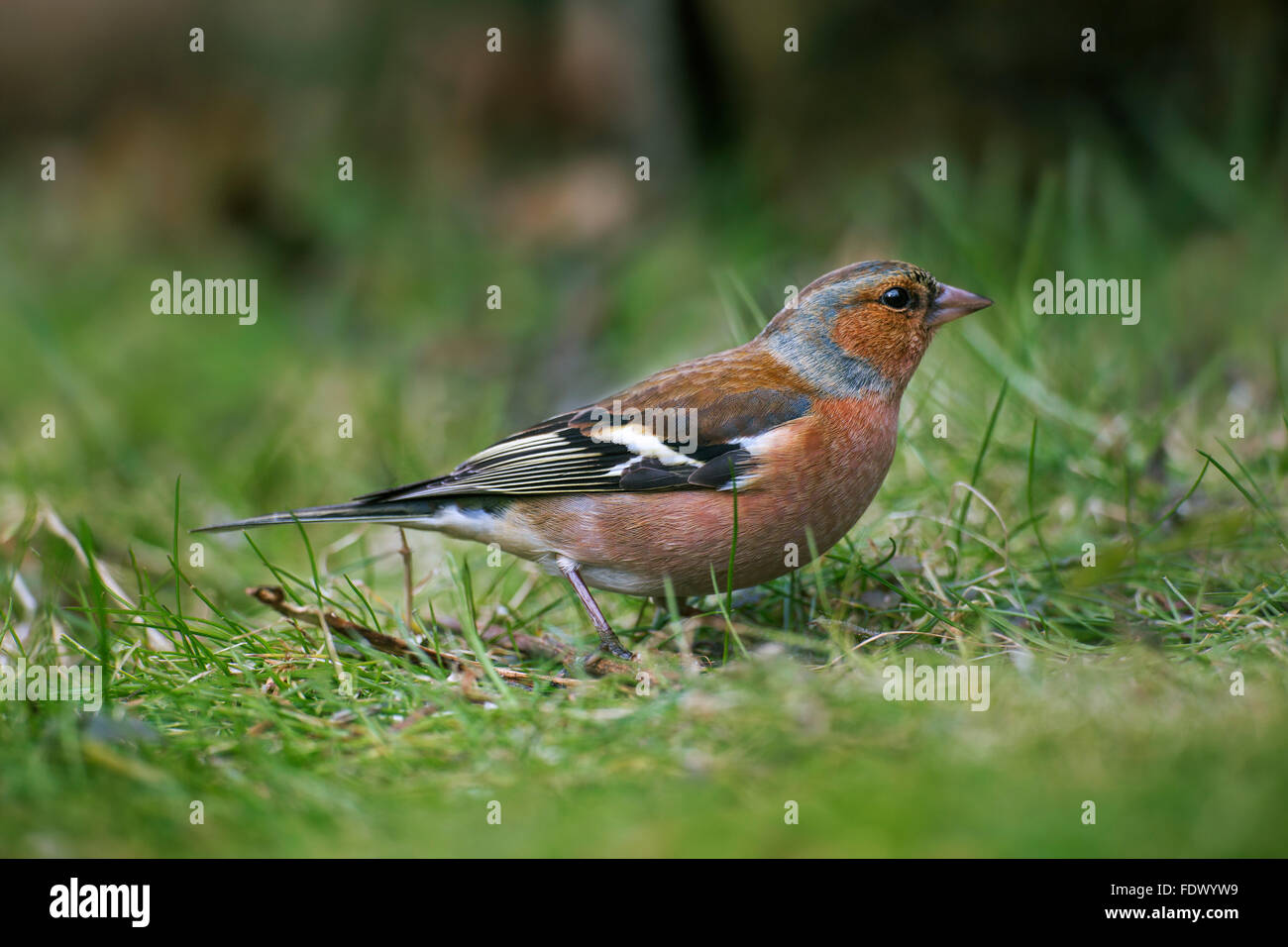 Common chaffinch (Fringilla coelebs) male foraging on the ground - Stock Image