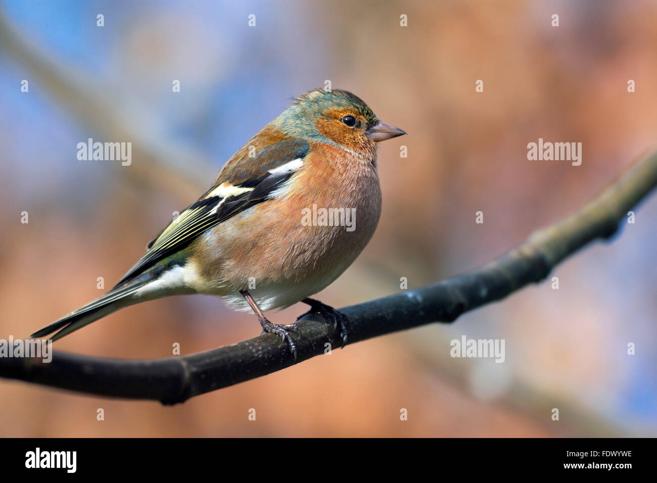 Common chaffinch (Fringilla coelebs) male perched on branch in tree - Stock Image