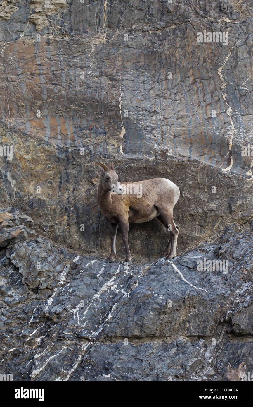 Bighorn sheep (Ovis canadensis) female on ledge traversing rock face, Jasper National Park, Alberta, Canada - Stock Image