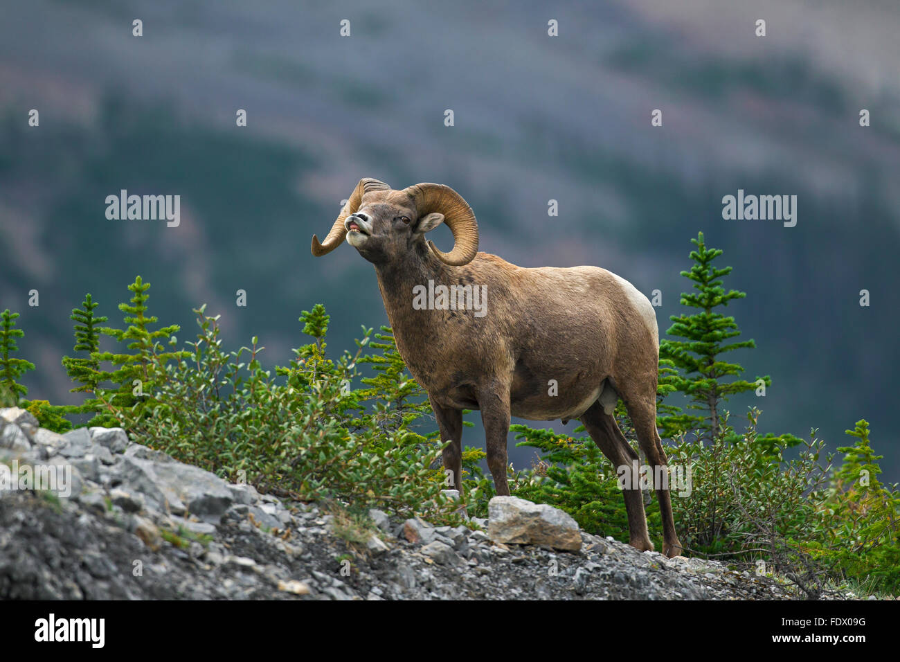 Bighorn sheep (Ovis canadensis) ram exhibits the flehmen response, Jasper National Park, Alberta, Canada - Stock Image