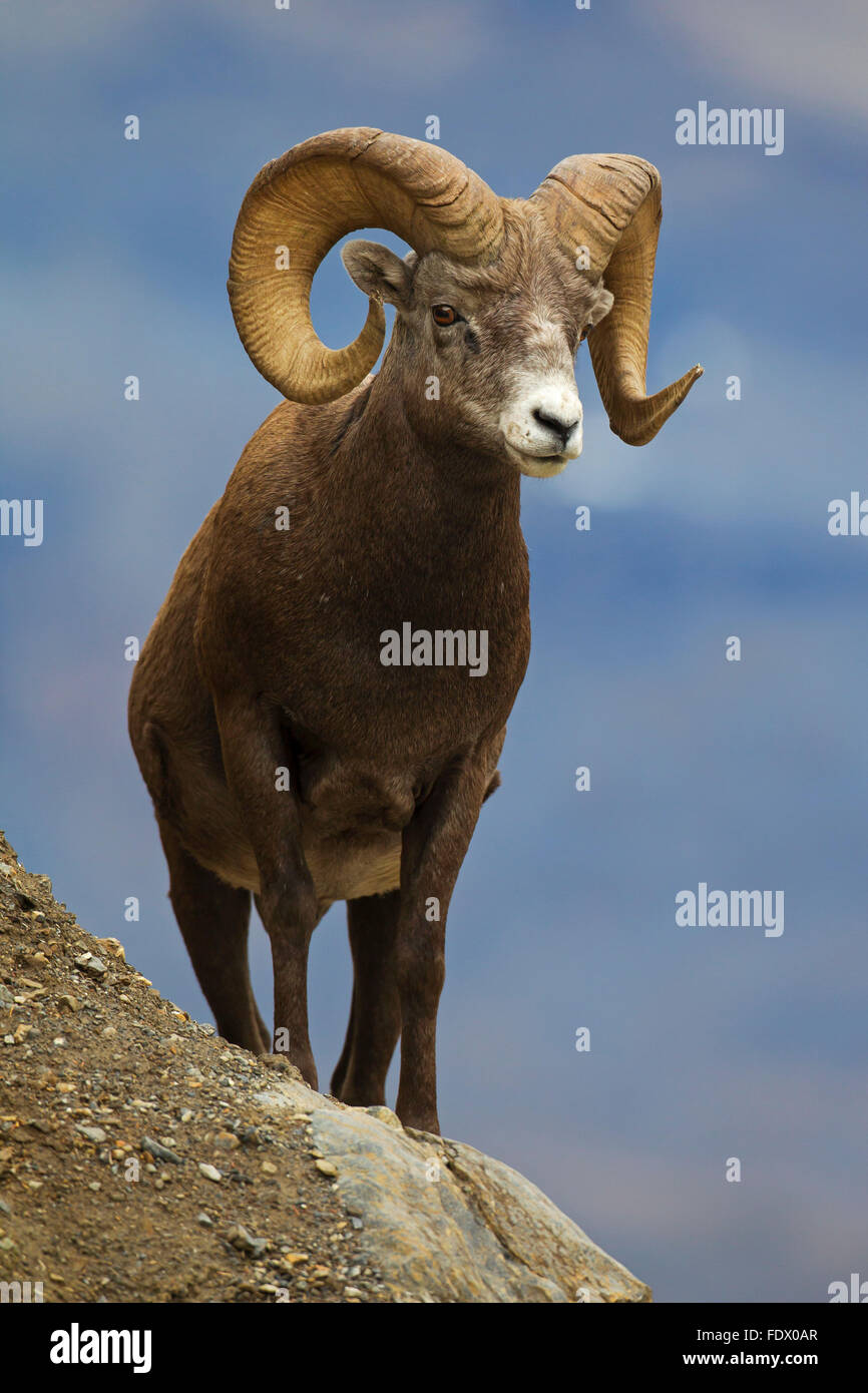 Bighorn sheep (Ovis canadensis) ram, Jasper National Park, Alberta, Canada - Stock Image