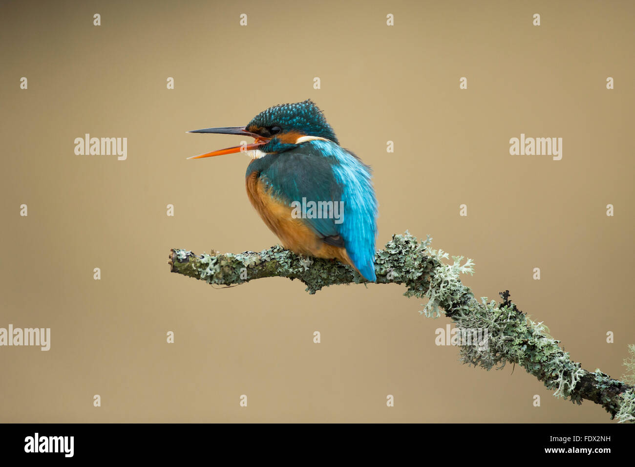 Kingfisher (Alcedo atthis) calling on a lichen branch above the river - Stock Image