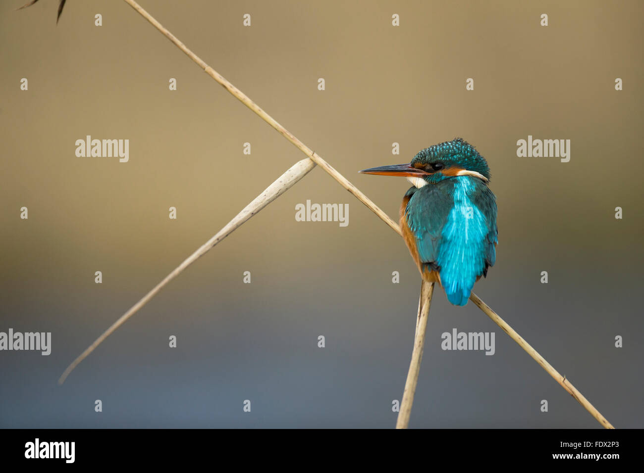 Kingfisher (Alcedo atthis) sitting on a reed over the river whilst fishing - Stock Image