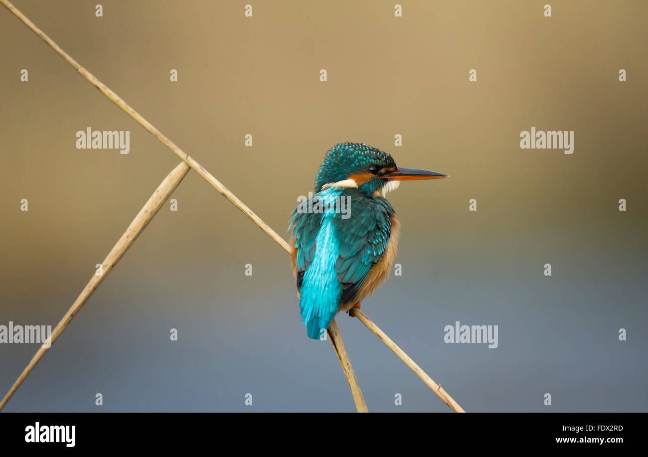 Kingfisher (Alcedo atthis) sitting on reed over a river whilst fishing - Stock Image