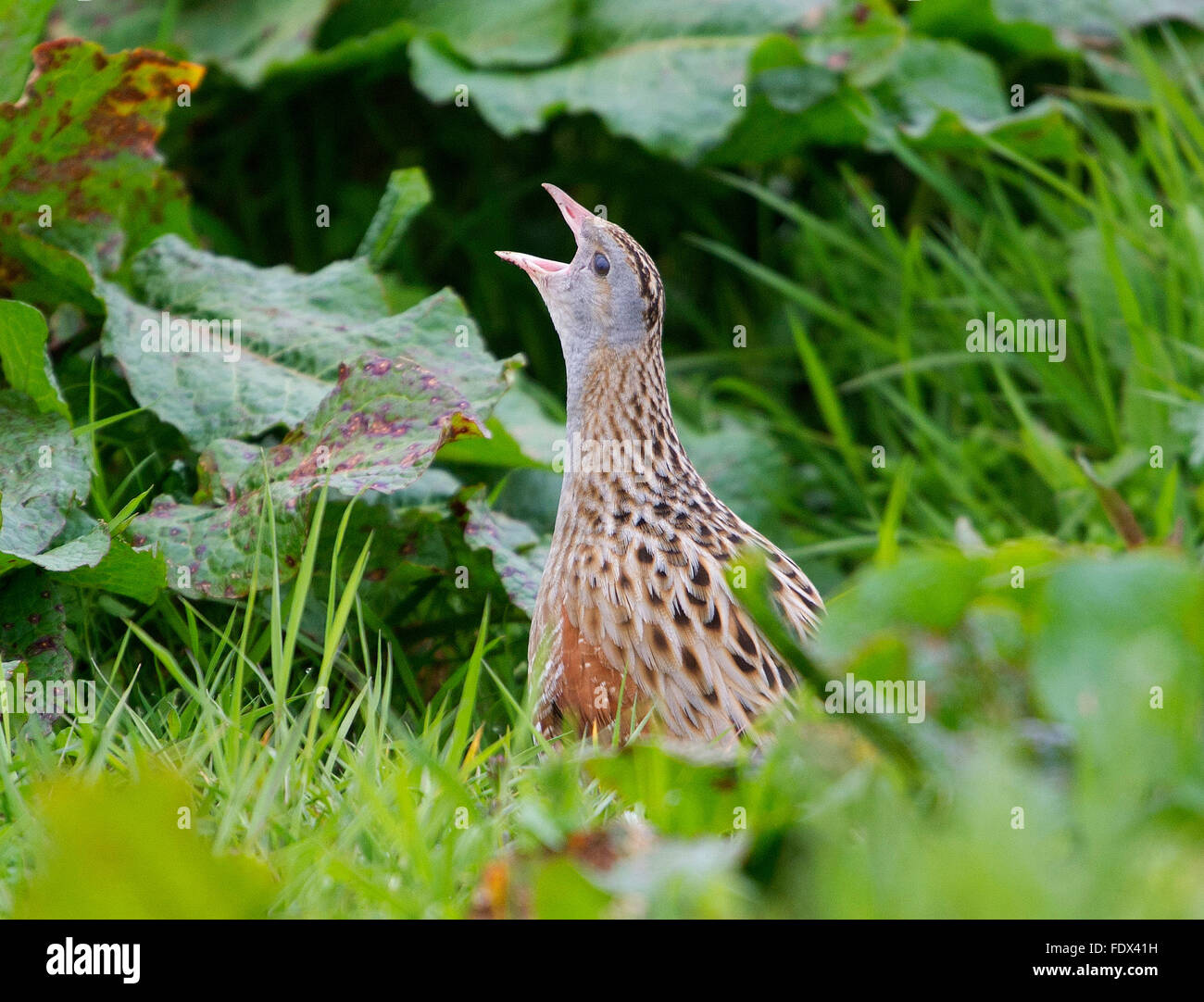 23rd May 2015, Balranald, North Uist, Outer Hebrides, Scotland, GB.  A Corncrake calling Balranald Nature Reserve, - Stock Image