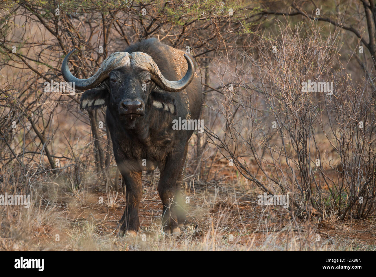African or Cape buffalo (Syncerus caffer) amongst bushes, Madikwe Game Reserve, North West, South Africa - Stock Image